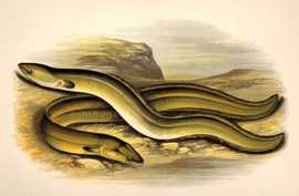 AAL/Tiere - Sharp-nosed Eel - Broad-nosed Eel